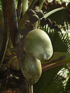 Frø fra Coco de mer