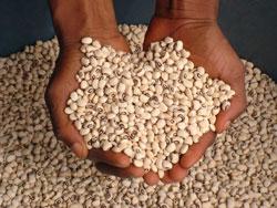 Frø fra Nigeria. Foto: The International Institute of Tropical Agriculture i Nigeria (IITA)