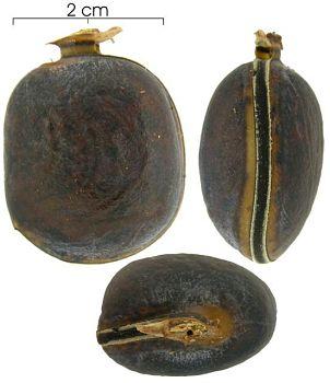 Frø fra slekten Dioclea