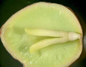 Delt Ginkgo frø